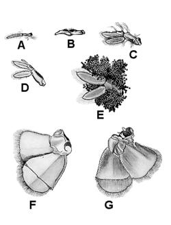 Pleopod