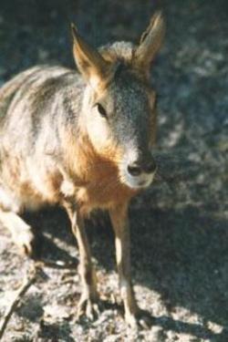 Patagoniancavy0001