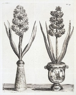 Forcing_bulbs_hyacinth_illustration