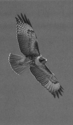 Flightsoaringlandhawk